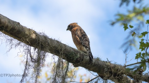 Red-shouldered Hawk Are Around