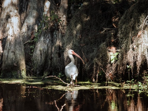 In A Swamp, Ibis