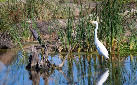 A Two'fer, Tricolored heron With Great Egret
