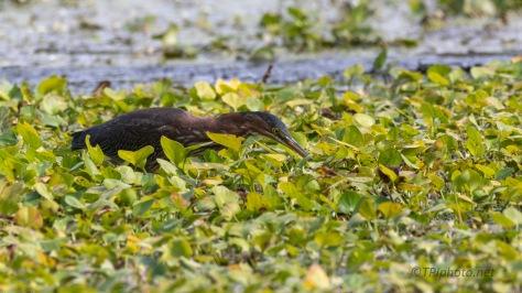 Walks On Water, Heron