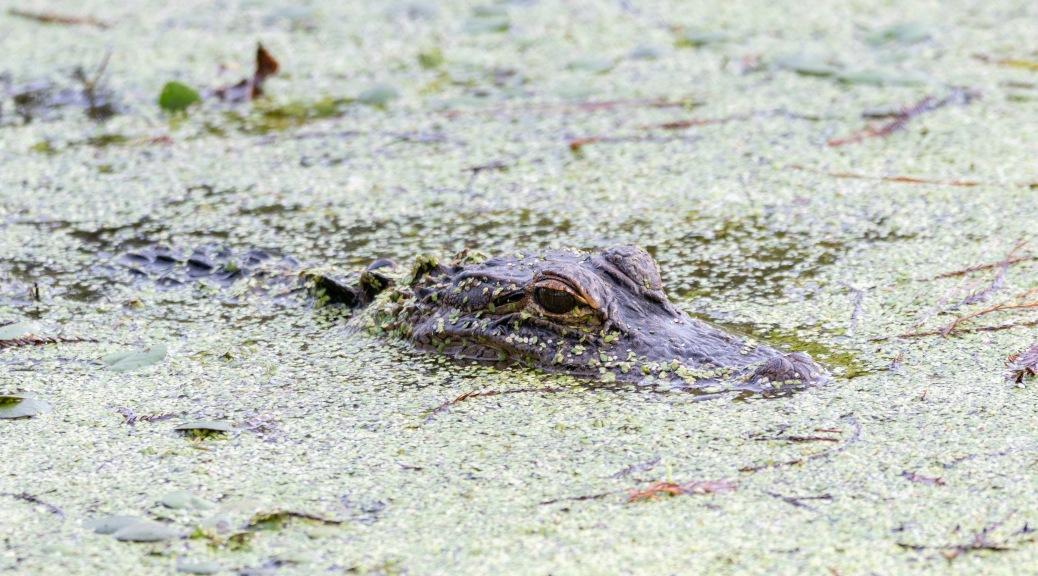 Slow Day, Alligator