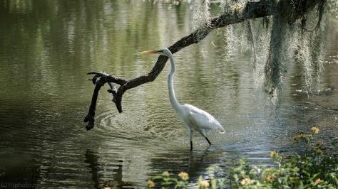 Great Egret Under Spanish Moss