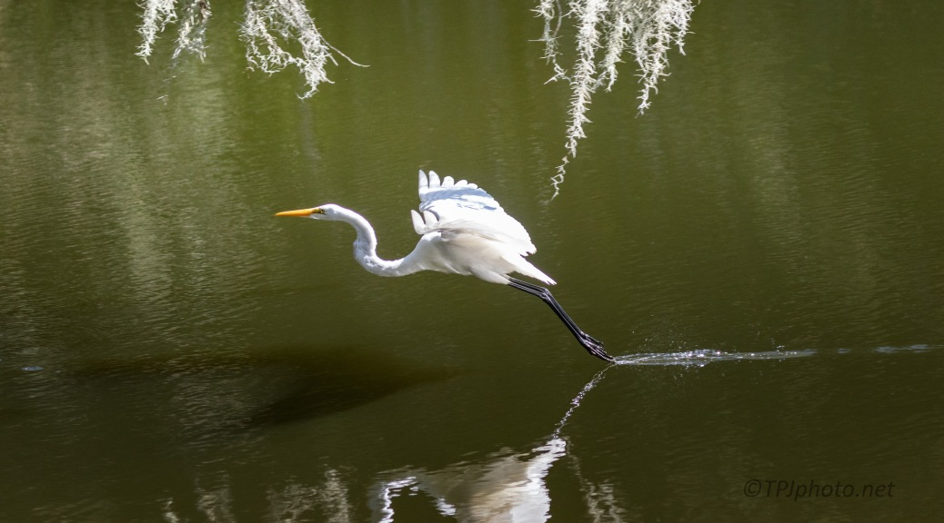 Flight, Great Egret