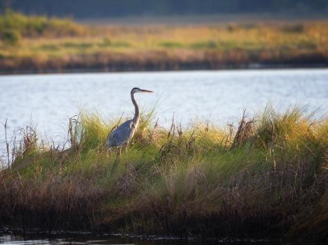 Great Blue, Marsh Morning