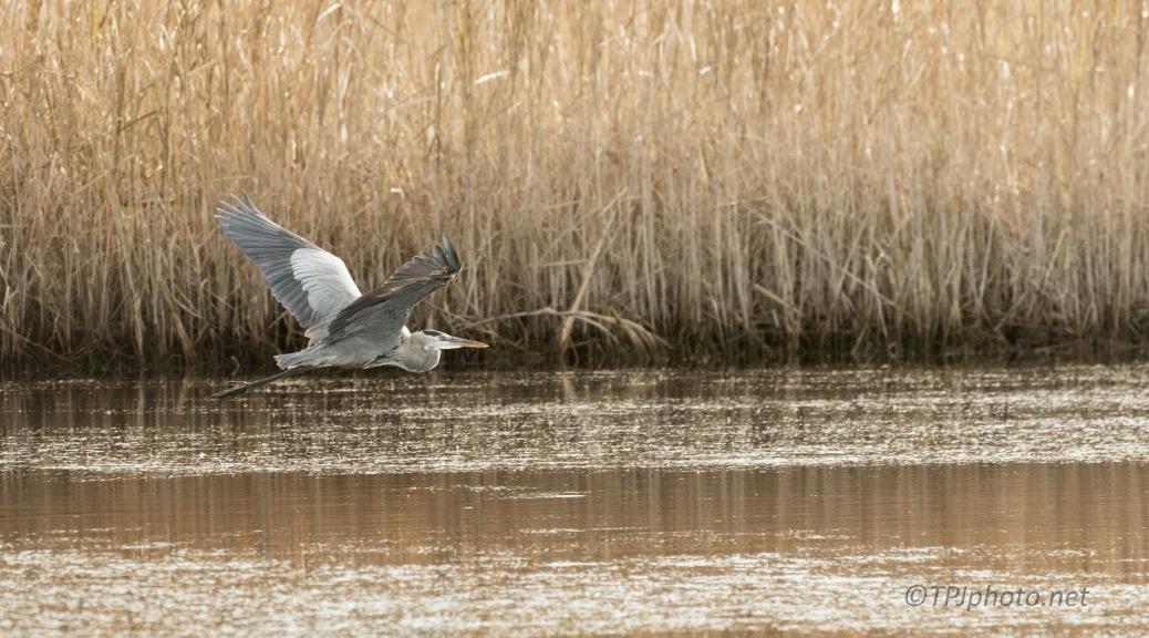 Great Blue Heron, Fall Marsh Scene