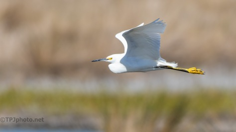 Snowy Egret Sneaking Past