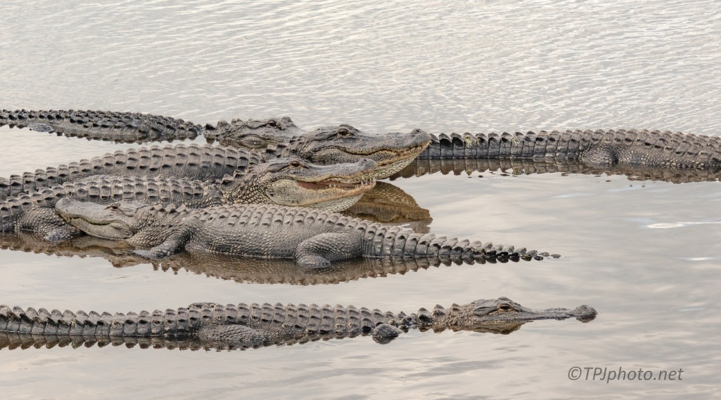 They Take Great Photographs, Alligator