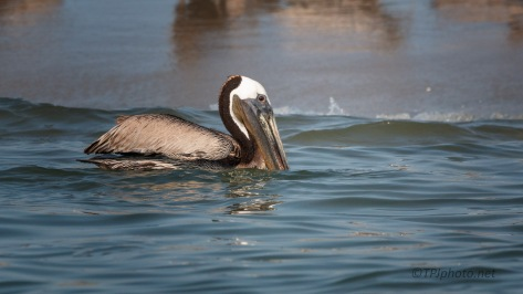 Floating Along, Pelican
