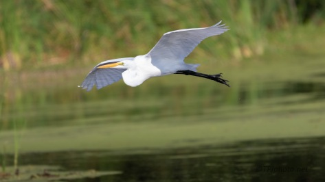 Over The Marsh, Great Egret