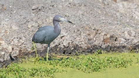 Gone Fishing, Little Blue Heron