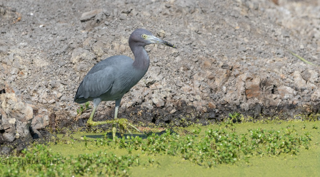Gone Fishing, Little Blue Heron