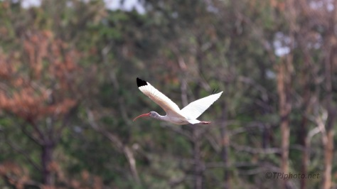 White Ibis, Fall Colors