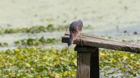 Must Be A Good Spot, Green Heron