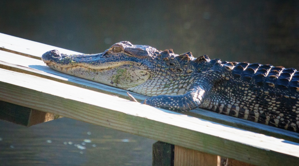 Getting Warm Is Now Important, Alligator
