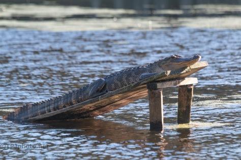 Warming In The Sun, Alligator