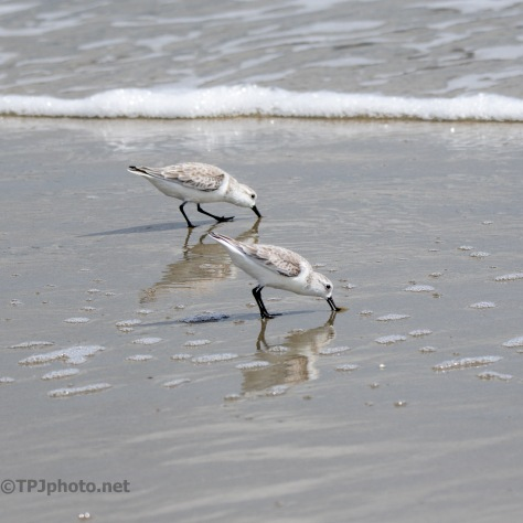 Speedy Sanderling