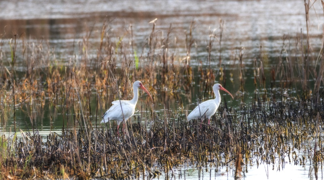 Grey Fall Day, Ibis