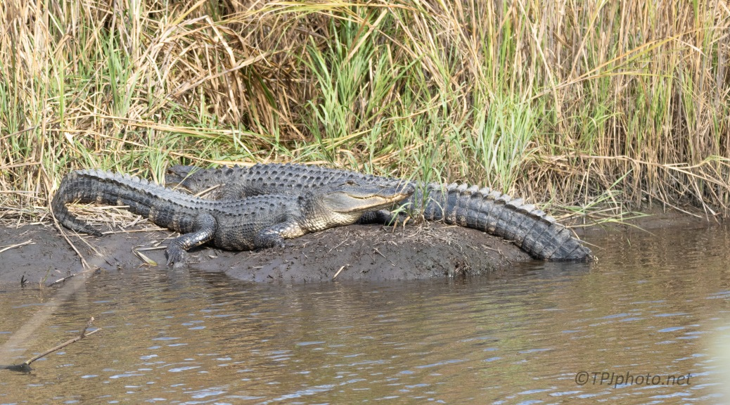 Alligator Were Out And About
