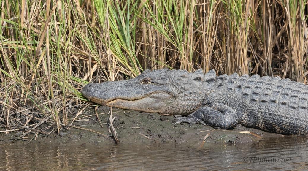 Soaking Up The Sun, Alligator