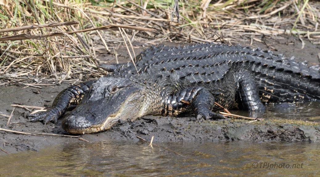 Big Local, Alligator