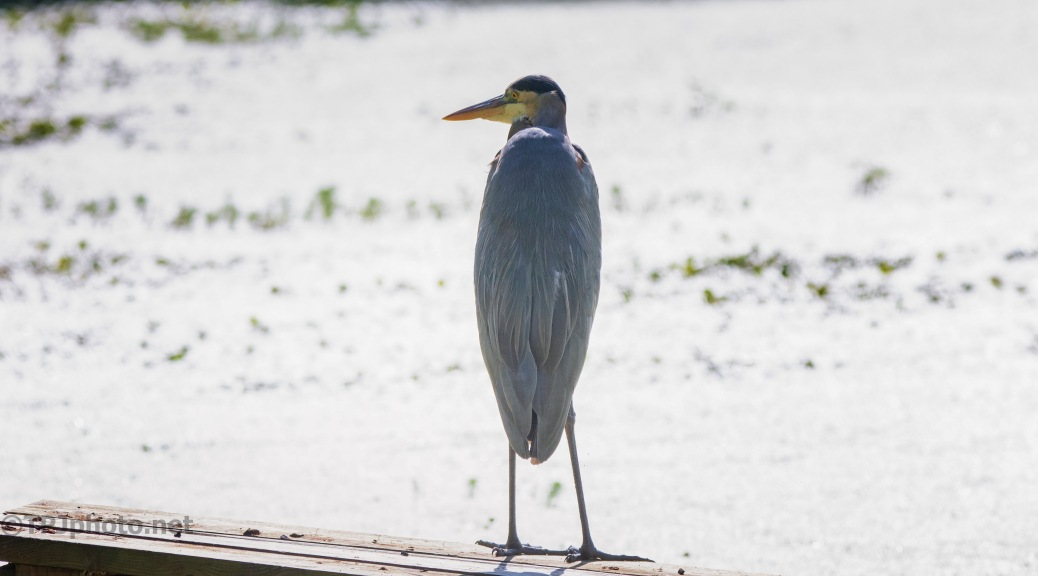 Looking A Little Lost, Heron