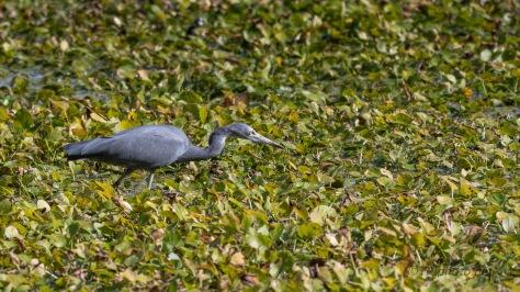 Walking On Water, Little Blue Heron