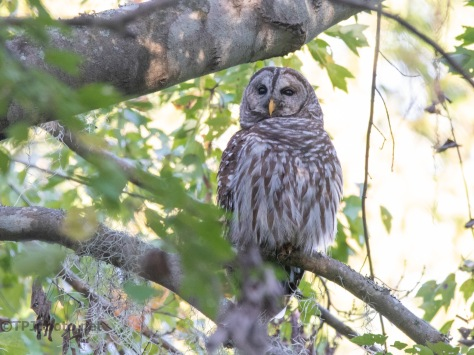 A Barred Owl