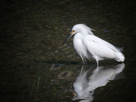Snowy Egret, A Small Pond