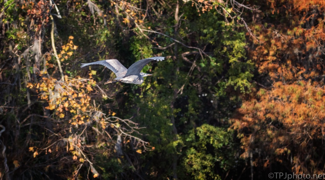 Heron Flying Into Fall Colored Trees