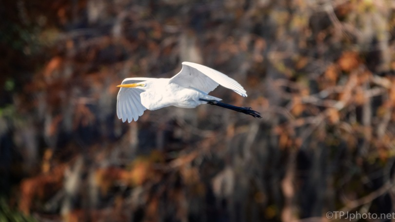 Great Egret, Fall Colors