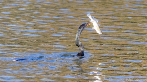 Anhinga With A Catch