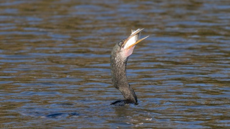 Anhinga With A Catch (2)