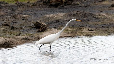 Egret, Marsh Muck