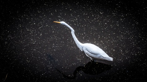 Looking Down, Great Egret