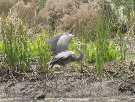 Great Blue Heron, Moving To A Thick Marsh