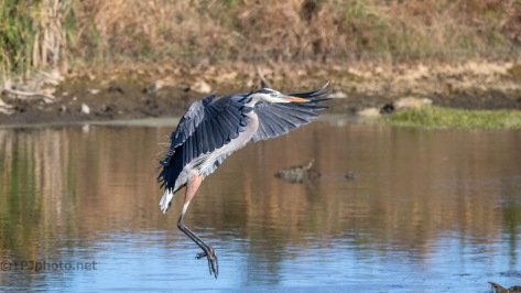 Great Blue, Marsh In Flight