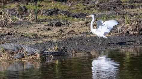 Abort ! Abort ! , Egret And Alligator
