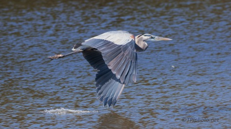 Great Blue On The Surface Of The Water