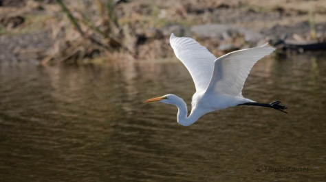 Down The Middle Of Canal, Egret