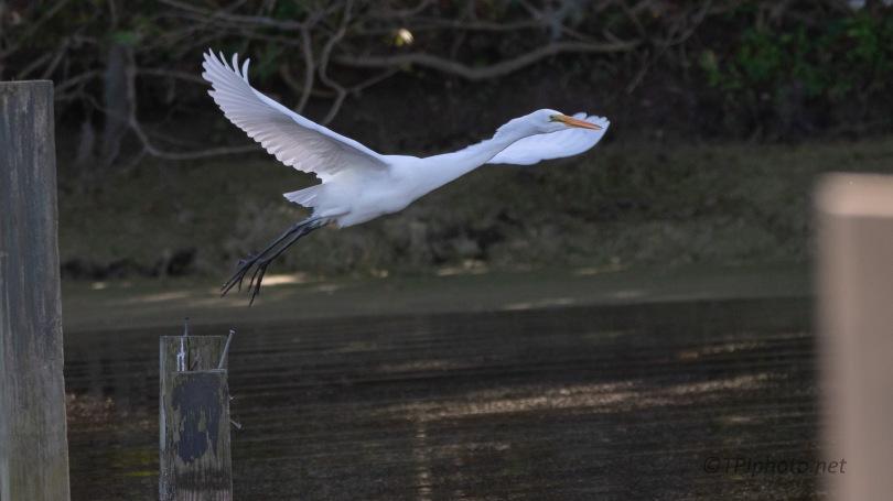 Night Time Take Off, Egret