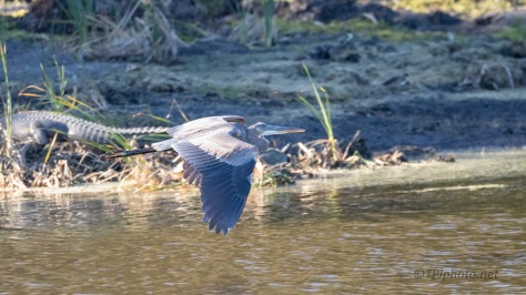 Great Blue, Alligator Close By