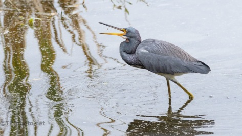 Watching A Tricolored Heron