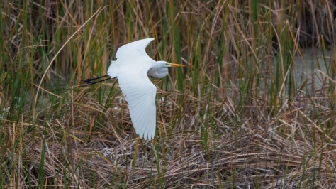 Thick Marsh Grass And An Egret