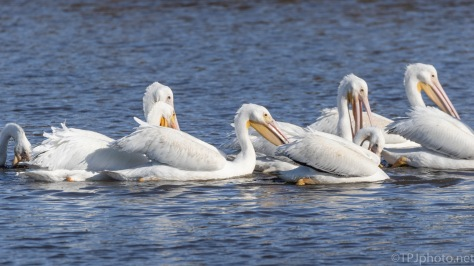 Gathering Together To Feed, White Pelican