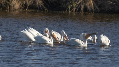 Pushing Food, Pelicans