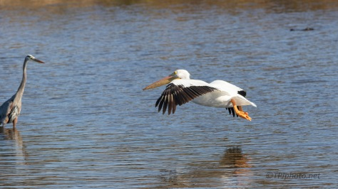 Crash Alert, Pelican And Heron