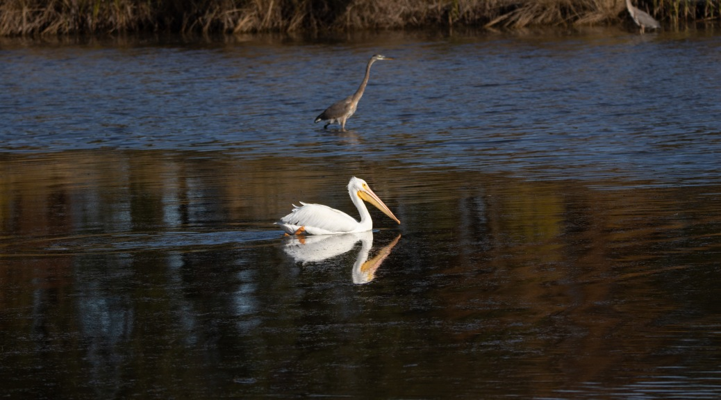 Reflections Of A Pelican