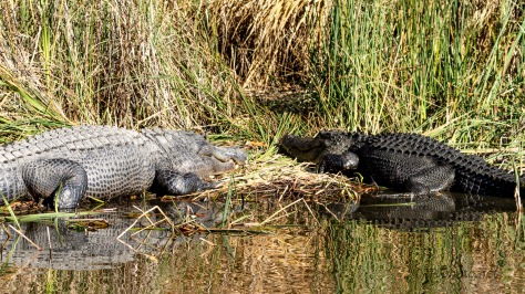 Alligator Camouflage Display