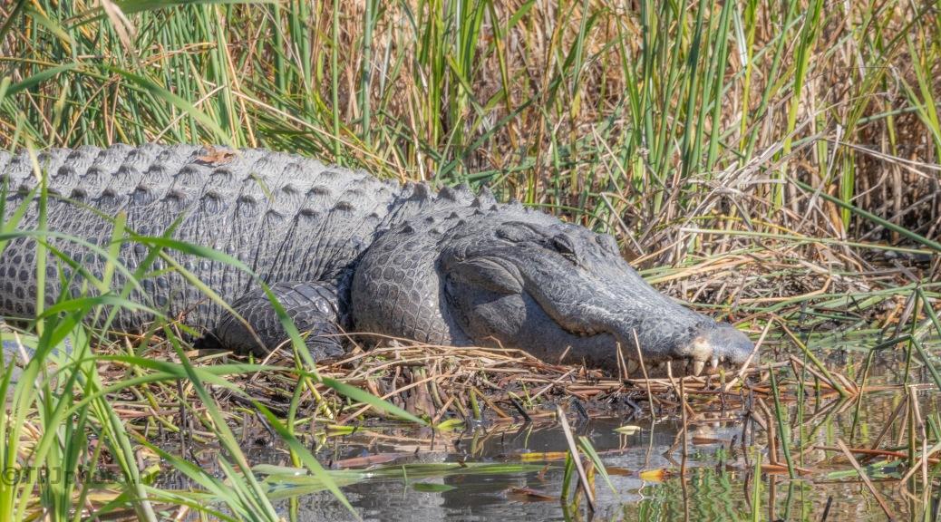An Old Friend, Alligator