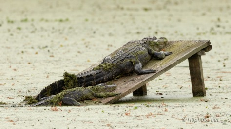 A Few Images Of Locals, Alligator
